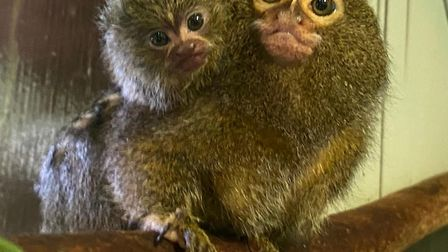 A new Pygmy Marmoset baby has been born at Paradise Wildlife Park in Broxbourne. Picture: Paradise W