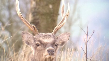A Sika deer photographed at Trinity Hill Local Nature Reserve. Picture: Sue Murphy