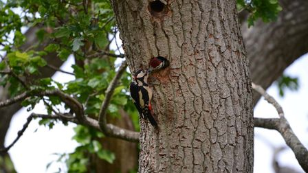 A greater spotted woodpecker feeding its young along the River Exe in Exeter. Picture: Luke Hopkins