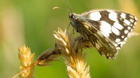 Another day up at Bystock pools this summer with hundreds of Marble White Butterfly's flying around,
