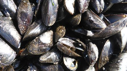 Exmouth mussels, straight from the sea! Picture: Gilly Harris