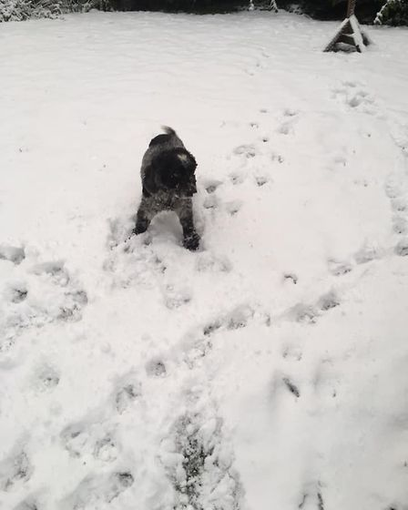 Ten year-old Toast is loving the snow in Sidbury. Picture: Bert Dykema