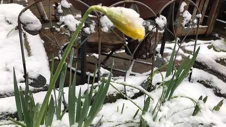 Daffodils coming out in my garden in Sidmouth. Picture: Anne Bishop