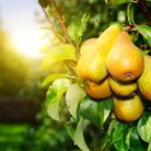 The Concorde pear tree produces sweet, juicy fruit. Picture: Getty Images