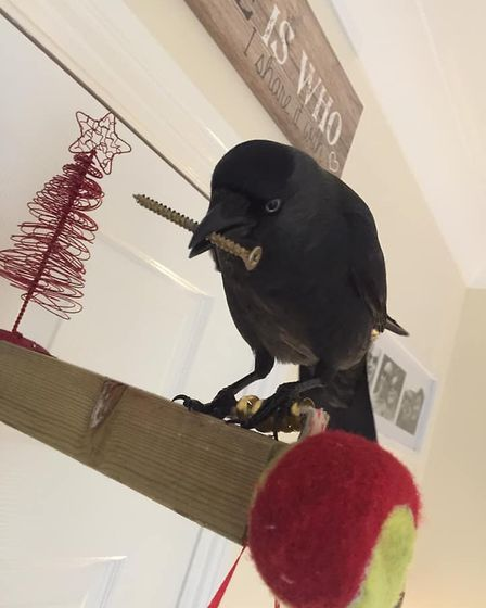 Jake the jackdaw is a minor celebrity in Axminster. Picture: Jaime Lee