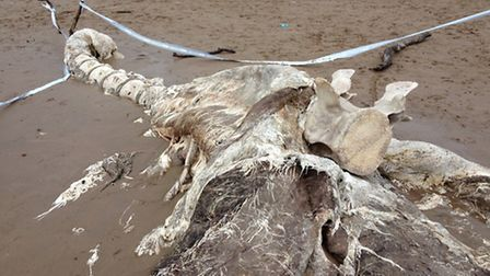 The whale remains found on Putsborough beach. Pic: Holidays in Croyde