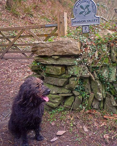 Pepper, owned by Alison Moreland, enjoys the walk along Heddon Valley to the sea, which has been vot