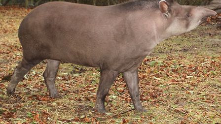The tapirs at Exmoor Zoo are looking forward to their new summer pasture enclosure if a planning app