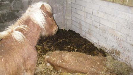 One of the colts was found standing over the other, dead pony. Pic: RSPCA