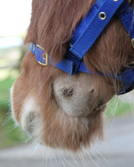 The abscess on the pony's face. Pic: RSPCA