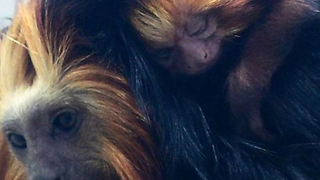 The newly arrived baby golden headed tamarinds settle down to life at Exmoor Zoo. Picture: John Hamm