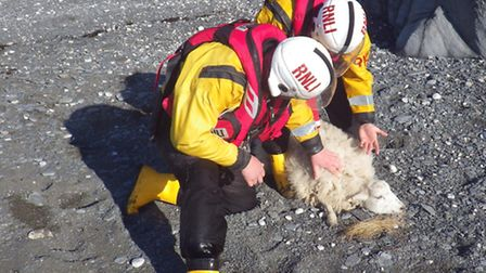 Ilfracombe RNLI volunteer crew members rescue a sheep. Picture: RNLI/Ilfracombe.