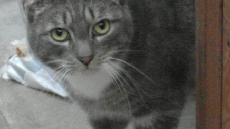Meet Blue, one of the cats being looked after by Cats Protection Barnstaple.