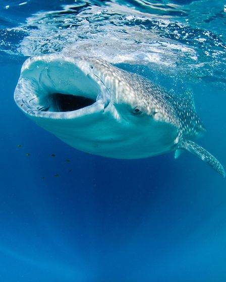 A whale shark snapped off the coast of Djibouti which won Nick a runners up award.