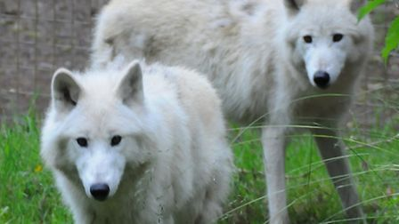 The two white wolves in their new home.