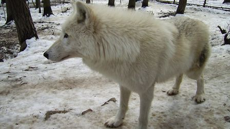 A Hudson Bay wolf, similar to those arriving at Combe Martin Wildlife and Dinosaur Park on Wednesday