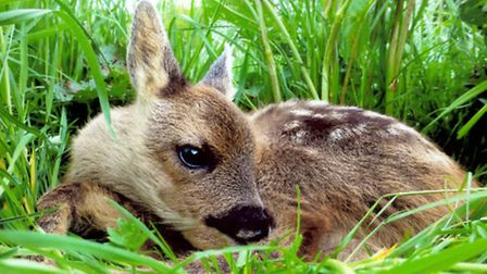 A fawn. Picture by Wreford Leverton.