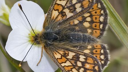 A Marsh Fritillary butterfly, one of the species set to benefit from DWT's Working Wetlands project.