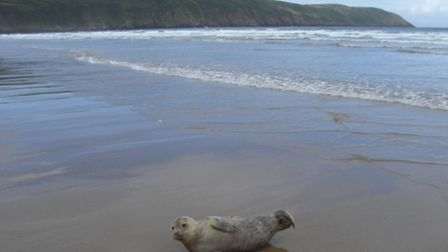 The stranded seal pup at Putsborough. Pic by Trev Lumley of Eyeball Surfcheck.