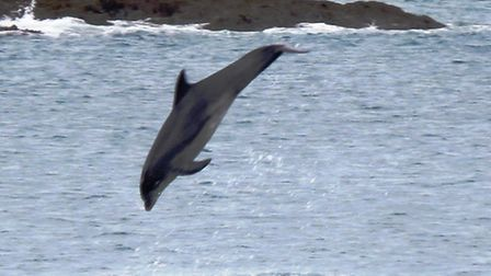 'Dave the dolphin is not shy as he performs for spectators at Ilfracombe Rescue Day on Wednesday. Pi