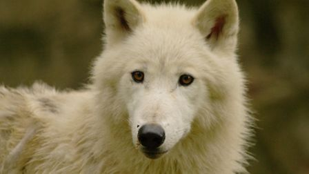 The white wolves are new to Combe Martin this year.