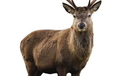 Are the red deer stags of Exmoor under threat from poachers?