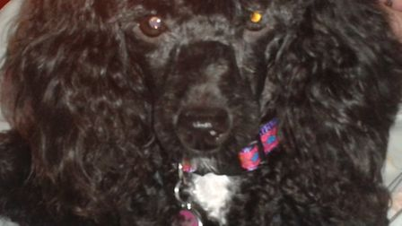 Have you seen Millie the black poodle, who went missing at Alverdiscott on Wednesday, October 30.
