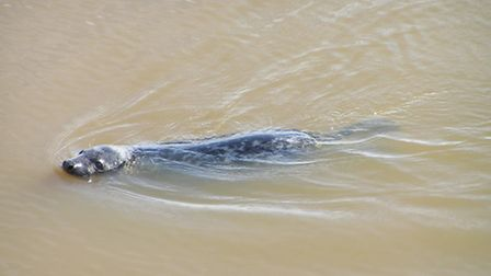 The seal was spotted this morning (Weds) in Appledore. Pic: Peter Reveley.