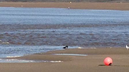 Richard Barlow pictured the seal off Appledore yesterday (Wednesday).