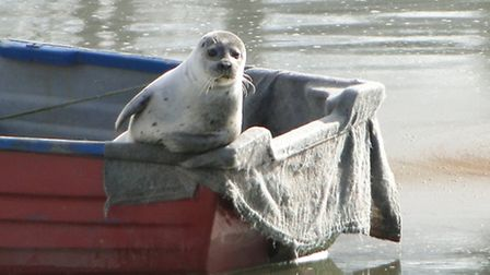 A seal at his ease in a boat near Fremington Quay, pictured in March this year.