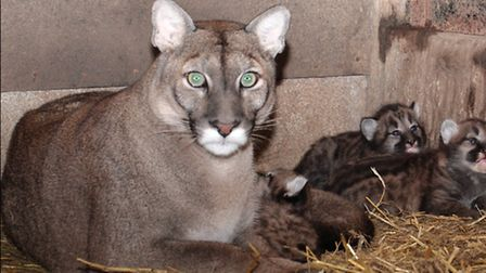Puma mum Fhu at Exmoor Zoo has given birth to three kittens, with all doing well. Picture: John Hamm