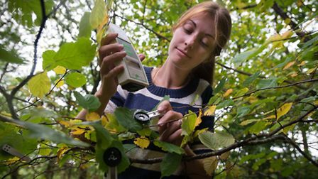 PHD student Alison Smith taking photosynthetic efficiency readings from leaves in the ancient Huntsh