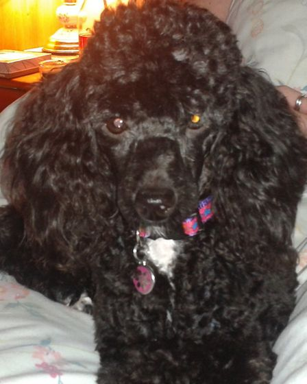 Millie the poodle has been found safe and well after marathon searches by local volunteers.