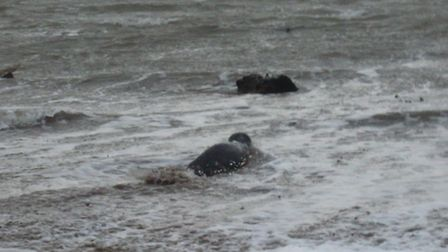 'Sedgewick' makes his way into the water... Picture by Sam Turner.
