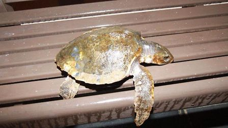 The turtle was found at high tide on Woolacombe beach.