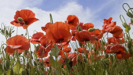 Thousands of poppies are being planted in Barnstaple to commemorate the 1914 outbreak of World War O