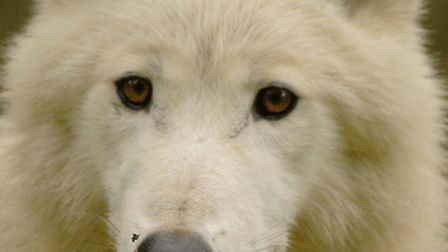 Take advantage of the special locals weekend discount and see the rare white wolves at Combe Martin