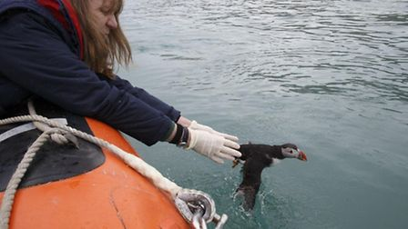 RSPCA Wildlife Assistant/Vet Nurse Barbara Cromey releasing one of three puffins close to Lundy. Pic