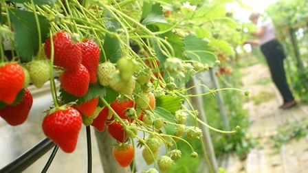 Strawberry growers, including Jasmine Chesters of the Ashford Inn Fruit Farm and Nursery, are report