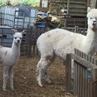 Alpaca Merlin and his mum will be at the Haines Watts stand at Holsworthy and Stratton Show.