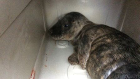 'Rocky' the seal. Picture: Submitted