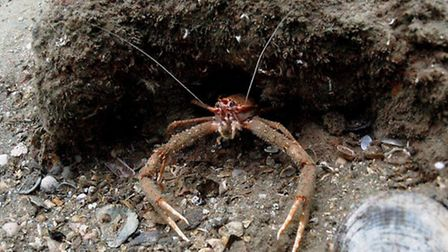 Spiny lobster. Picture: Mike Deaton.