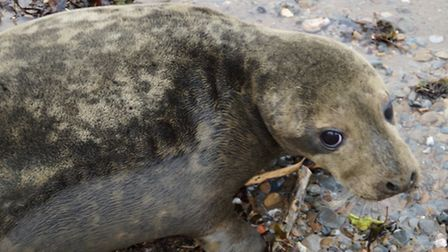Ready for a new home: One of the seals on Combe Martin beach