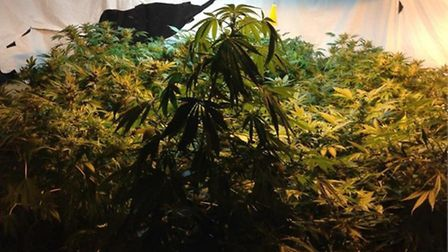 Police have seized more than 100 cannabis plants from a farm in the Chumleigh area. Picture: Submitt