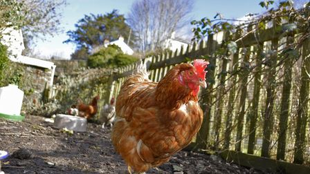 One of Louie's rescue chickens on the Tarka Trail. Picture: YellowBunny.Media