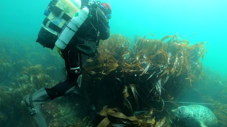 Diver Graham Scott from Wessex Archaeology diving the wreck of HMS Montagu which is covered in kelp.