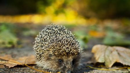 small gray hedgehog walking in the grass in nature