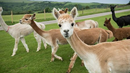 Simon & Kate Brookes, Alpaca farmers in Ilfracombe, who have diversified into holiday accommodation