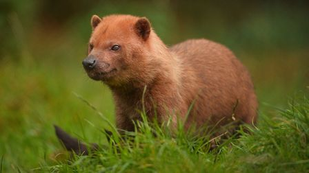 The new pair of bush dogs have been settling in well at Exmoor Zoo. Picture: Steve Rawlins/Exmoor Zo