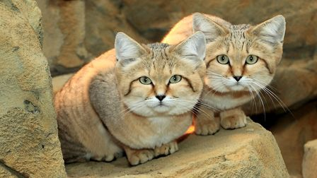 ADorable sand cats at Exmoor Zoo. Picture: Exmoor Zoo